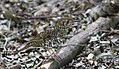 Bassian Thrush (Zoothera lunulata) (31293018622).jpg