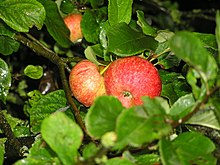 Beauty of Bath Apples.jpg