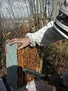 beekeeping wikipedia
