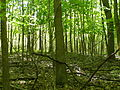 Beech Maple Fores t030 Maples.JPG