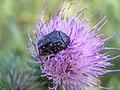 Beetle - Oxythyrea sp. (3255327617).jpg