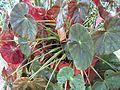 Begonia Acetosa.jpg