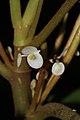 Begonia cavallyensis (Begoniaceae) (24336108282).jpg