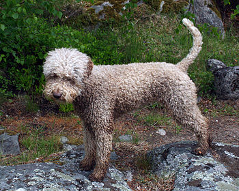 English: Female Lagotto Romagnolo, 2½ years old