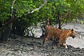 Bengal Tiger spray marking at Sundarban.jpg