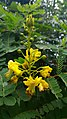 Biancaea sappan flowers leaves.jpg