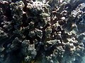 Big Island Reef (24027301536).jpg
