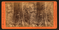 Big Tree, George Washington, 284 feet high, 52 feet circumference, Calaveras County, by Lawrence & Houseworth 3.png