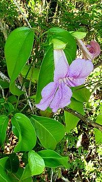 Bignonia corymbosa (Vent. ) Bureau ex K. Schum. (2238358743).jpg