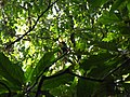 Bird Great Hornbill Buceros bicornis IMG 8659 30.jpg