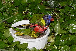 Lorikeet Sized Bird Bath Displayed For Close Viewing Inside A Children S Zoo