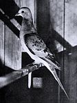 Live female passenger pigeon in the 1890s