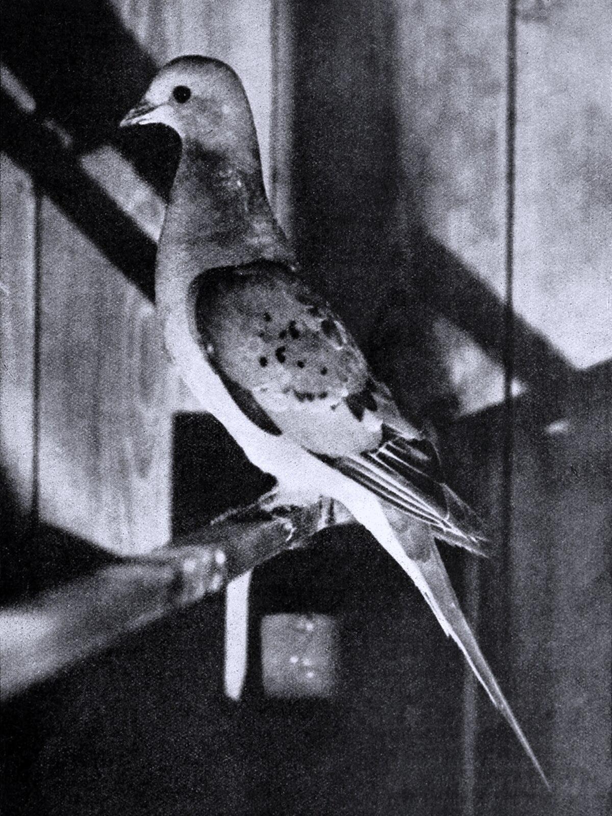 Passenger Pigeon Wikipedia