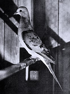 Live Passenger Pigeon in 1896, kept by C.O. Whitman
