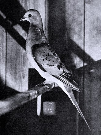 Passenger pigeon - Live female in 1896/98, kept in the aviary of C. O. Whitman