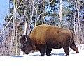Bison in spring (6744218829).jpg