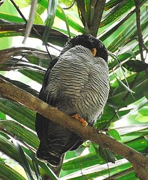 Black-and-white Owl.jpg