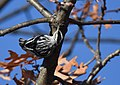 Black-and-white Warbler (documentation photos) (46346267411).jpg