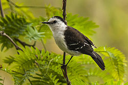 Black-backed Water-Tyrant - Brazil MG 8606 (16730865190).jpg