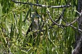 Black-billed Cuckoo Smith Oaks High Island TX 2018-04-27 12-35-57 (41479592234).jpg
