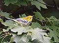 Black-throated Green Warbler (30268251807).jpg