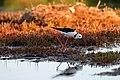 Black-winged Stilt (29856166261).jpg