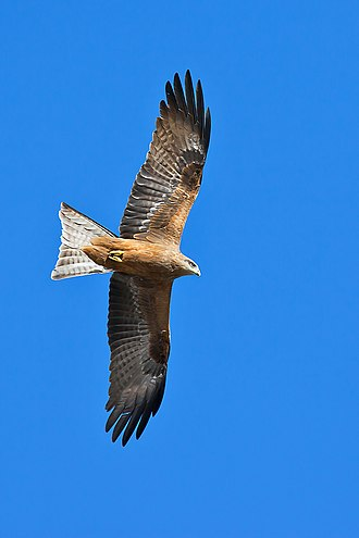 Black kite - M. m. affinis in flight, Victoria Australia