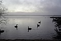 Black Swans and Fog (28052872083).jpg
