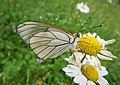 Black Veined White. Aporia crataegi (44910616781).jpg