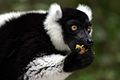 Black and white ruffed lemur.jpg