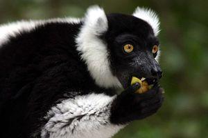 Black-and-white ruffed lemur - Black and white ruffed lemur eating fruit