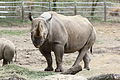 Black rhinoceros mother and calf at the Pittsburgh Zoo 04.jpg