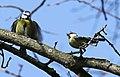Blaumeise (Cyanistes caeruleus) im Grünfelder Park in Waldenburg. 2H1A3545WI.jpg
