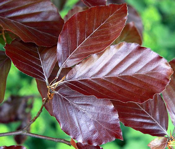 Löv från en blodbok, Fagus sylvatica purpurea.