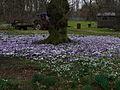Bloeiende paarse en witte krokussen.JPG