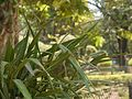 Blue Berry flax-lily (4592517850).jpg