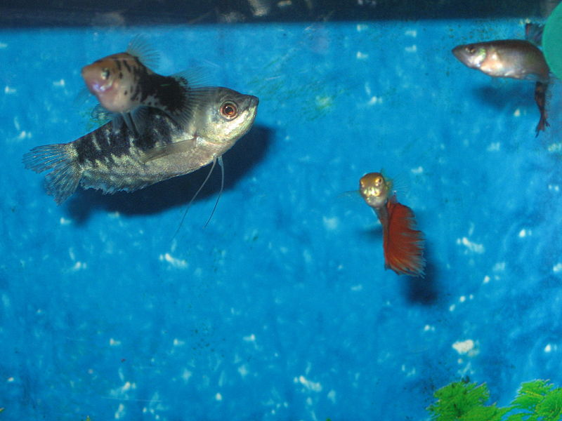 Paypay:Blue Gourami With Guppies and Platies.jpg