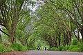 Blue Jacaranda trees over road in Houzhuang, Chiayi City.jpg