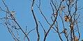 Blue Jays (Cyanocitta cristata) - Kitchener, Ontario.jpg