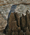 Blue Rock Thrush (Monticola solitarius)- Male in Bhongir, AP W IMG 3088.jpg