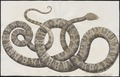 Boa hortulana - 1734-1765 - Print - Iconographia Zoologica - Special Collections University of Amsterdam - UBA01 IZ11900077.tif
