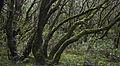 Bosque Encantado, Parque nacional de Garajonay, La Gomera, España, 2012-12-14, DD 17.jpg