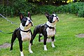 Bostonterriers-belos-and-zeus-uwe-meer.jpg