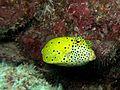 Boxfish 3 (5310615172).jpg