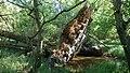 Brabrandstien (væltet træ).jpg