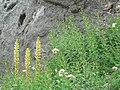 Bracted lousewort and other flowers against andesite rock. (69b214e568cb4c61ab8d32c429562410).JPG