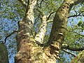 Branches of Prety platanus.jpg
