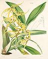 Brassia lanceana - W J Hooker - A century - pl 83.jpg