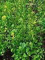 Brassica nigra 001.JPG
