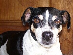 Brazilian Terrier face front.jpg